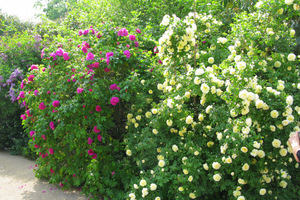 Róże pnące to najpiękniejsze kwitnące pnącza