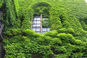 Winobluszcz trójklapowy dorasta nawet do 20 metrów i potrafi zarosnąć domy