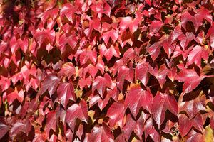 Trójklapowe liście latem są zielone, a jesienią czerwono-purpurowe co stanowi dużą ozdobę