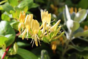 Mają słodko pachnące kwiaty więc szczególnie są szczególnie pożądane w okolicach kącików wypoczynkowych lub łuków