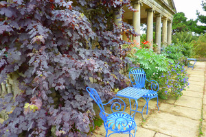 "Vitis vinifera ""Purpurea"" ma liście w kolorze burgunda"