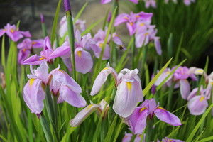 """Iris ensata """"Rose Queen"""" ma kwiaty na przełomie czerwca i lipca, kilka tygodni po Iris sibirica i potrzebuje dużo wilgoci, fot. Danuta Młoźniak"""