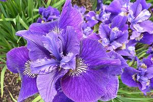 """Iris sibirica """"Ruffled Velvet"""" - kwiaty z bliska,  fot. Danuta Młoźniak"""