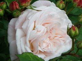 Zachwycająca róża, niestety bez nazwy