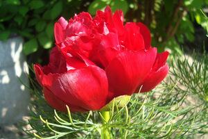 """Odmiana """"Rubra Plena"""" została prawdopodobnie wyhodowana w Ogrodzie Botanicznym w Petersburgu, skąd trafiła do ogrodów angielskich, a potem do nas, fot. Łucja Badarycz"""