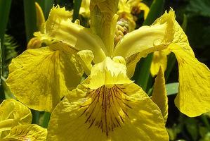 Iris pseudoacorus, fot. Danuta Młoźniak