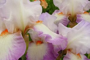 "Iris ""Ravissant"""