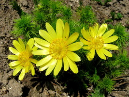 Adonis vernalis - złoty kwiat wiosny