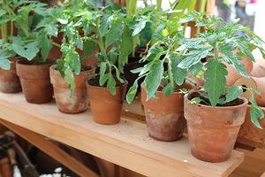 Rozsada pomidorów w małej szklarence