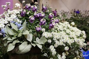 """U góry Erysimum POEM TM Lilac, po prawej biała Lobularia """"Snow Princess"""", ciekawe liście Pulmonaria """"Majesty"""", a po lewej Iberis sempervirens i niezapominajki"""