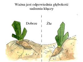 Przygotowane kłącze ze skróconymi liśćmi i korzeniami układamy tak, aby liście znajdowały się od północy a kłącze od południa. Ważne jest też, aby były na lekkiej górce