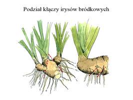 Aby podzielić irysy wykopujemy kępy, usuwamy stare kłącza ze środka i sadzimy zewnętrzne i młode kawałki, które dokładnie widać na rysunku