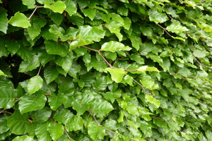 Buk  (Fagus sylvatica) - doskonały na żywopłoty i konstrukcje, ponieważ tworzy gęstą masę liści