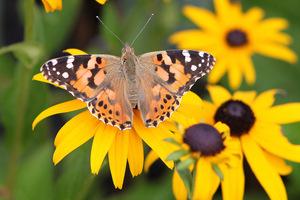 Do owadów pożytecznych zaliczamy znane owady zapylające np. motyle, fot. Michał Młoźniak