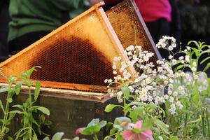 Pszczoły oprócz zapylania kwiatów, produkują miód