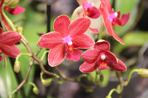 Prawie czerwony kolor kwiatu
