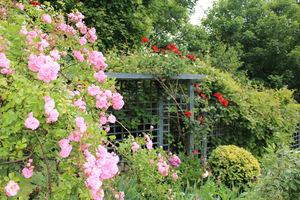 Soczyste, pełne wdzięku, kolorowe róże umieszczone na małej przestrzeni dają poczucie prywatności