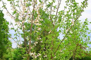 Kwitnienie zaczyna się  w maju i jest bardzo obfite