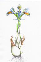 Iris persica osiąga 15 cm wysokości i ma pachnące kwiaty, ale uważajmy - roślina jest trująca, rys. Monika Jadczak