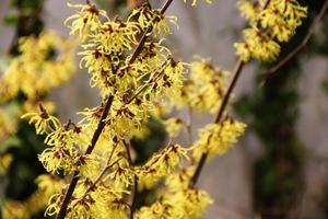 Młode roślinyw pierwszych latach dobrze jest zabezpieczać przed mrozami