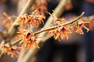 "Hamamelis intermedia ""Fire Blaze"""