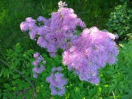 Kwitnące rutewki dodają lekkości rabatom