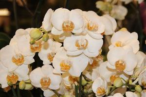 Widzimy je w każdej kwiaciarni, goszczą  w wielu domach jako ozdoba stołu lub parapetu, fot. Danuta Młoźniak