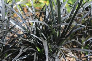 """Ophiopogon planiscapus """"Nigrescens"""" - konwalnik jest członkiem rodziny liliowate ((Liliaceae)"""