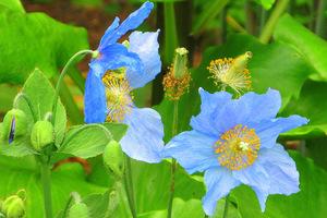 Po posadzeniu jej na miejsce stałe w pierwszym roku nie dopuszczamy do kwitnięcia i usuwamy pąki kwiatowe