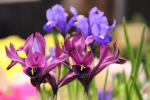 Ich kwiaty przybierają różne odcienie niebieskiego, fioletu, bordo, są też żółte i białe
