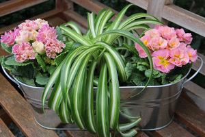 Morelowo-różowe pierwiosnki i ciekawa zielistka pośrodku