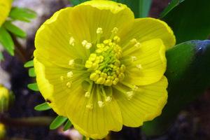 Kwiat rannika otwiera się w czasie słonecznej pogody