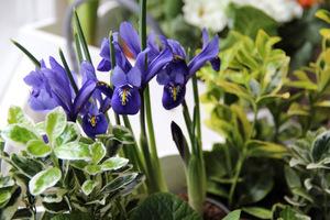 Iris reticulata z trzmielinami