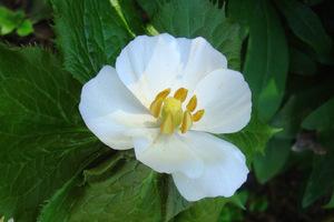 Kwiaty stopowca są biało-różowe z żółtymi pylnikami