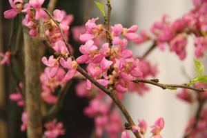 """Cercis chinensis """"Avondale"""" - bardzo efektowna odmiana, z ciemniejszymi różowymi kwiatami, wyrastająca do 3 m wysokości"""