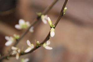 "Cercis chinensis ""Shirobana"" ma białe kwiaty"