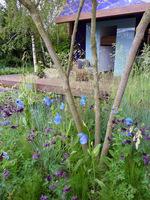 Dobrym towarzystwem jest Geranium phaeum, Polygonatum × hybridum, delikatne trawy, jak Stipa tenuissima, Aquilegia - zwłaszcza te o czarnych kwiatach