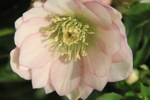 Helleborus 'SP Frilly Isabelle'