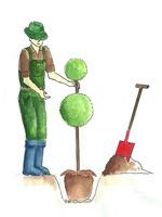 Bryłę korzeniową równo umieszczamy w wykopanym dołku. Górna krawędź bryły powinna znaleźć się równo lub  2 cm nad poziomem gruntu