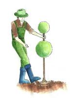 Umocowanie rośliny w podłożu poprzez lekkie udeptanie w taki sposób, aby po pociągnięciu, łatwo nie wychodziła z gleby