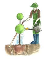 Na koniec podlewamy krzewy obficie, w celu wyeliminowania pęcherzy powietrza wokół korzeni i dbamy, aby woda nie rozlała się na boki
