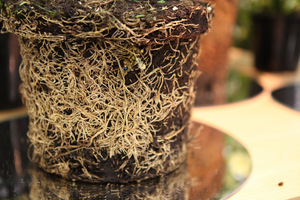 Tak wygląda zdrowa bryła korzeniowa