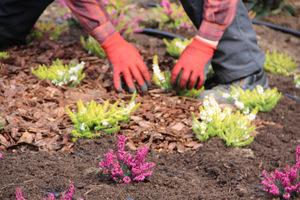 Ściółkowanie korą po posadzeniu  pomoże utrzymać wilgoć i ograniczy wahania temperatury gleby
