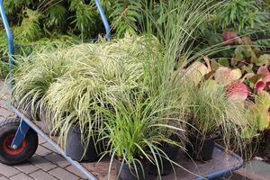 Trawy i turzyce zakupione w szkółce. Jeśli chcemy zaoszczędzić, dzielimy je sami