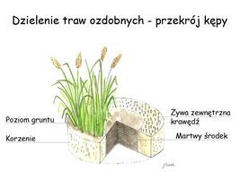 Dzielenie traw