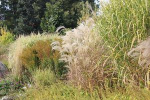 Niektóre trawy rosną wyższe, inne natomiast niższe. Niektóre tworzą bardzo gęste kępy, a niektóre duże fontanny