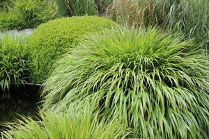 Liście trawy o nazwie Hakonechloa wyginają się w łuk niczym wodospad