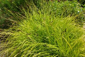 """Carex elata """"Aurea"""" lubi półcień, a w palącym słońcu może ulec przypaleniom"""