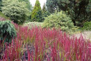 Krwistoczerwone spiczaste listki bledną do koloru jasnozielonego u podstawy i stają się z wiekiem półprzezroczyste