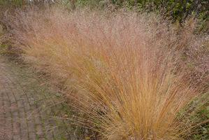 Sporolobus ma delikatne jak włosy listki, które zwisają malowniczo